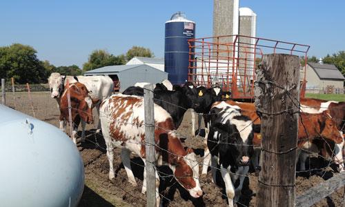 Happy cows on the Popp Farm