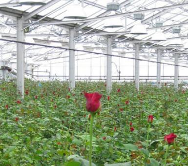 Biomass-powered greenhouse at Len Busch Roses