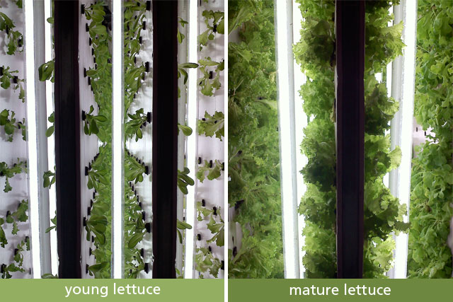 Lettuce factory from start to finish